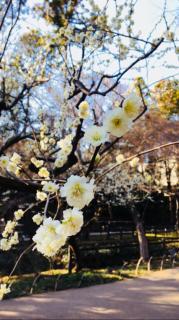 京都の梅を見に行ってきました(  *˙-˙*  )画像