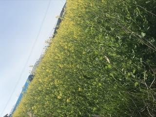 菜の花 畑画像