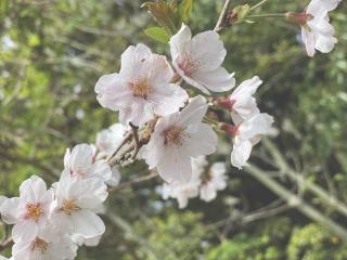 もう桜も緑になってきてるね画像
