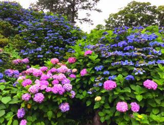 紫陽花*画像