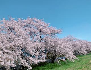 桜がきれいな時期だね🐻🌸画像