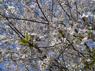 満開の桜🌸画像