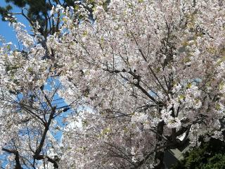 桜がだいすき画像