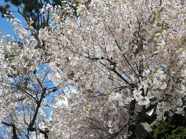 桜がだいすき